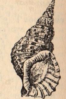 Free Clip Art – Vintage Seashell