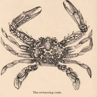 Victorian Graphic – Crab