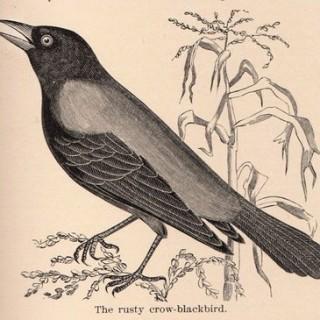 Free Vintage Clip Art – Crow