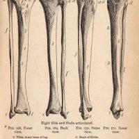 Leg Bones Image