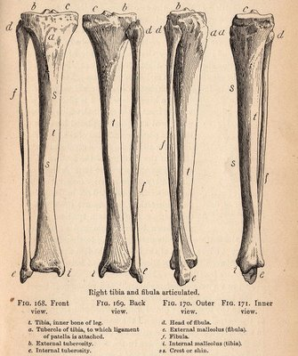 Leg Bones Anatomy Image