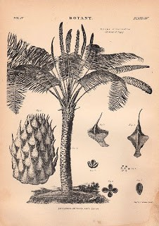Old Botanical Print – Palm Tree