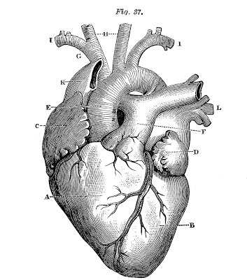 Royalty Free Images – Anatomical Heart – Vintage
