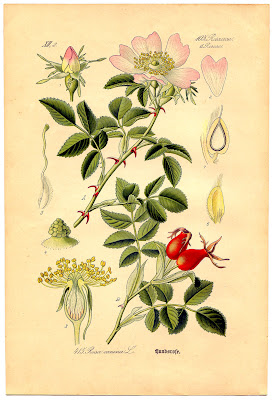 Instant Art Printable Wild Rose Botanical 4 The