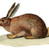 Vintage Stock Image - Amazing Brown Rabbit - The Graphics Fairy