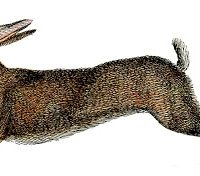 Amazing French Rabbit - Natural History - Hare - Graphics Fairy
