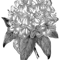 Vintage Botanical Image - Rhododendron - Graphics Fairy