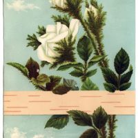 Antique Image - White Roses with Birch Bark - Graphics Fairy
