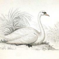 Vintage Illustration - White Swan Image - Graphics Fairy