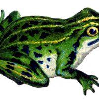 Cute Vintage Frog Image