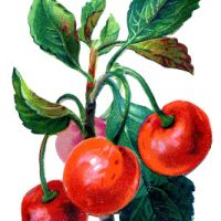 Vintage Fruit Graphic - Cherries - The Graphics Fairy