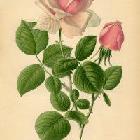 Vintage Printable - Pink Tea Rose - Botanical - Graphics Fairy
