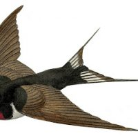 Vintage French Bird Image - Flying Swallow