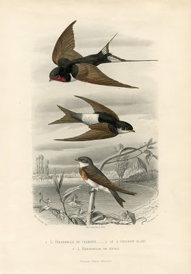Vintage Printable - Swallows - Natural History