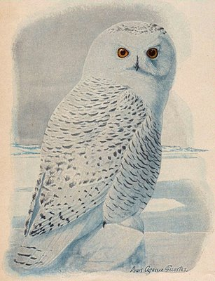 Free Clip Art - Snowy Owl - The Graphics Fairy