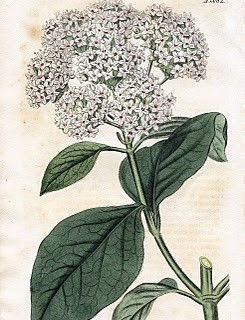 Lovely Antique Botanical Graphic – Viburnum
