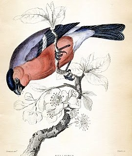 Natural History Clip Art – Beautiful Bird