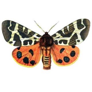 Free Vintage Clip Art – Orange Butterflies for Halloween