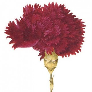 Free Clip Art – Red Carnation
