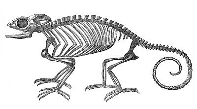 Vintage Clip Art – Strange Chameleon Skeleton – Halloween