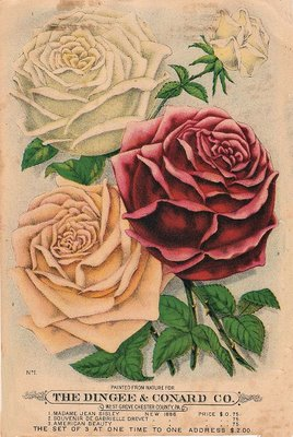 Old Seed Catalog Roses The Graphics Fairy
