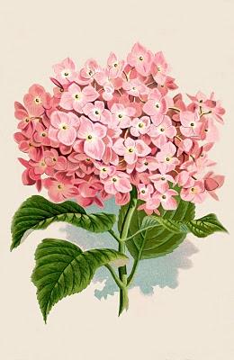 Instant Art Printable Download – Hydrangea Botanical Print