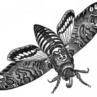 Vintage Clip Art – Interesting Moth Image