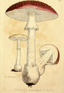 Antique Graphic – Mushrooms