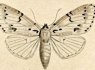 Free Antique Clip Art – Natural History – Moths