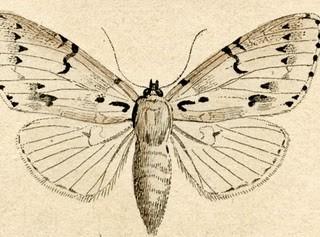Free Antique Clip Art – Natural History – Moths