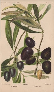 Botanical – Olives