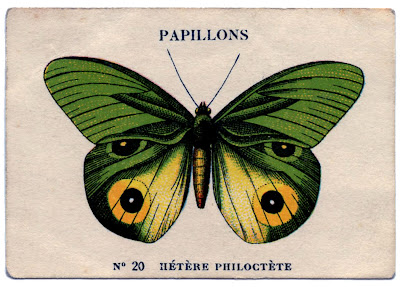 Green and Yellow Papillon Image