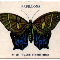 Multi colored Papillon Image