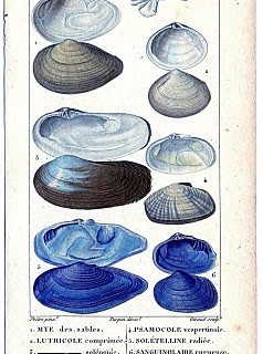 Natural History – Antique Seashell Graphics