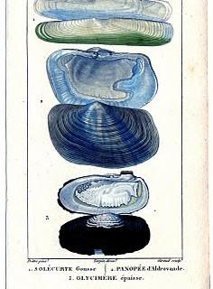 Natural History – Antique Seashell Print #2