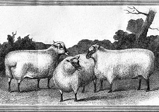 Vintage Clip Art – 3 Nice Sheep