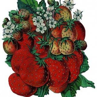 Old Seed Catalog Art – Strawberries