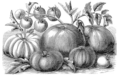 Vintage Engraving – Old Fashioned Tomatoes
