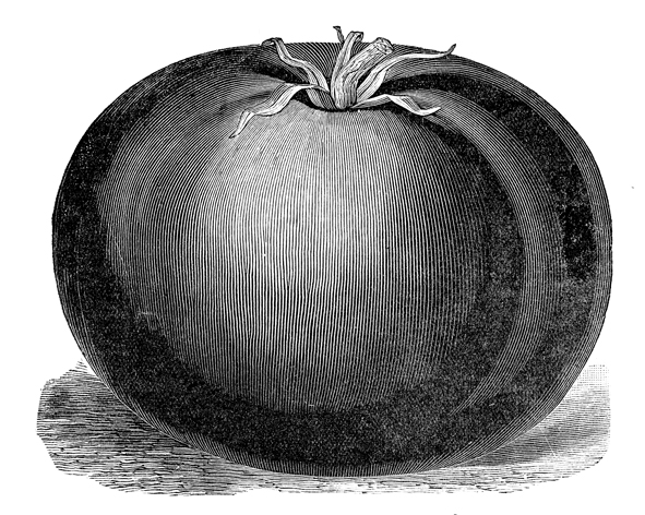 Free Public Domain Image Tomato Vintage