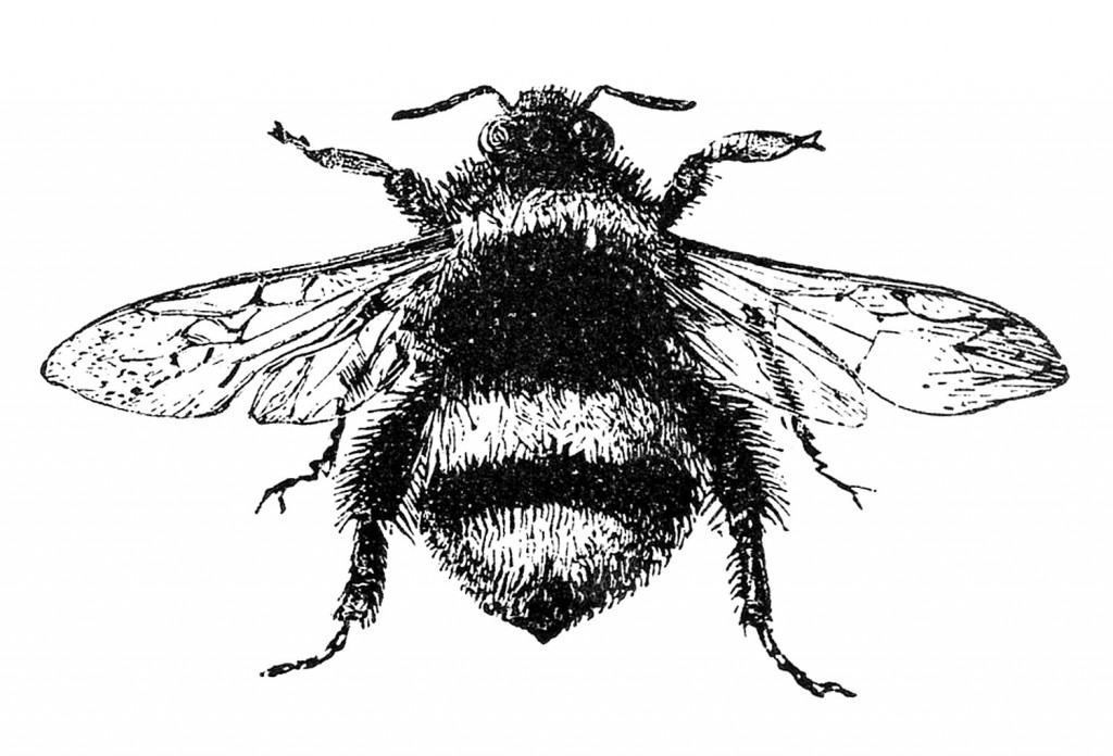 Free Stock Black and White Image Bumblebee