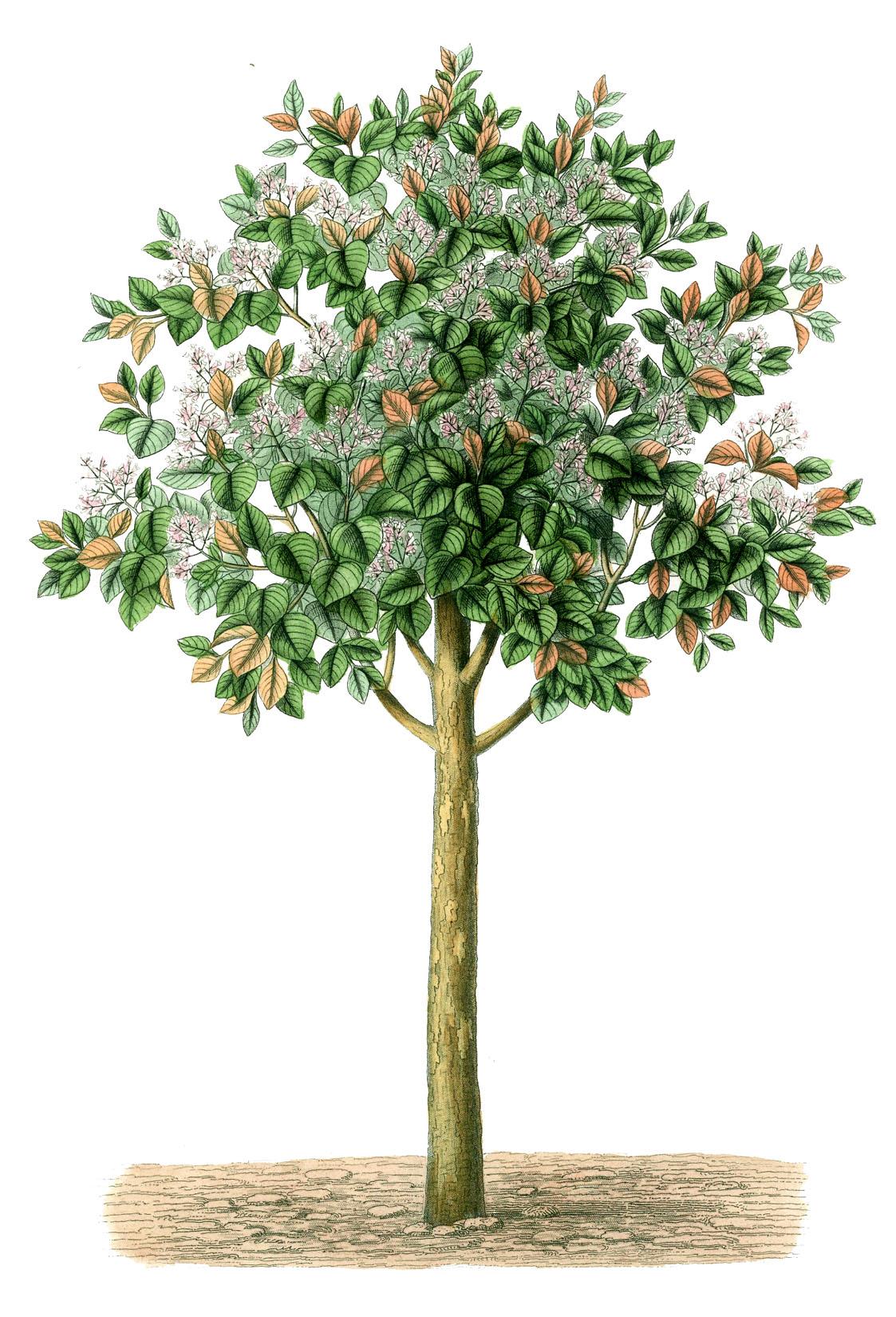 Olive Garden Logo Png Vintage Tree Drawing G...
