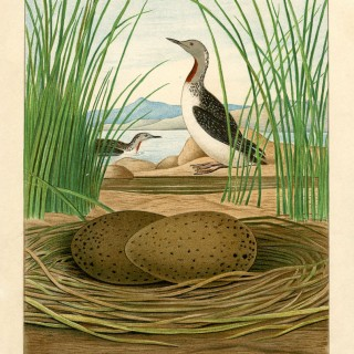 Natural History Sea Birds Printable