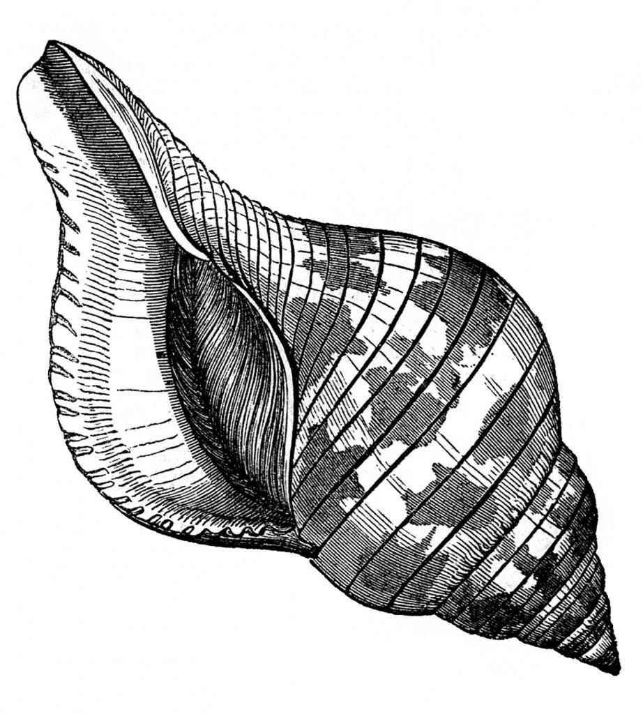 Fasciolaria Seashells Vintage Images