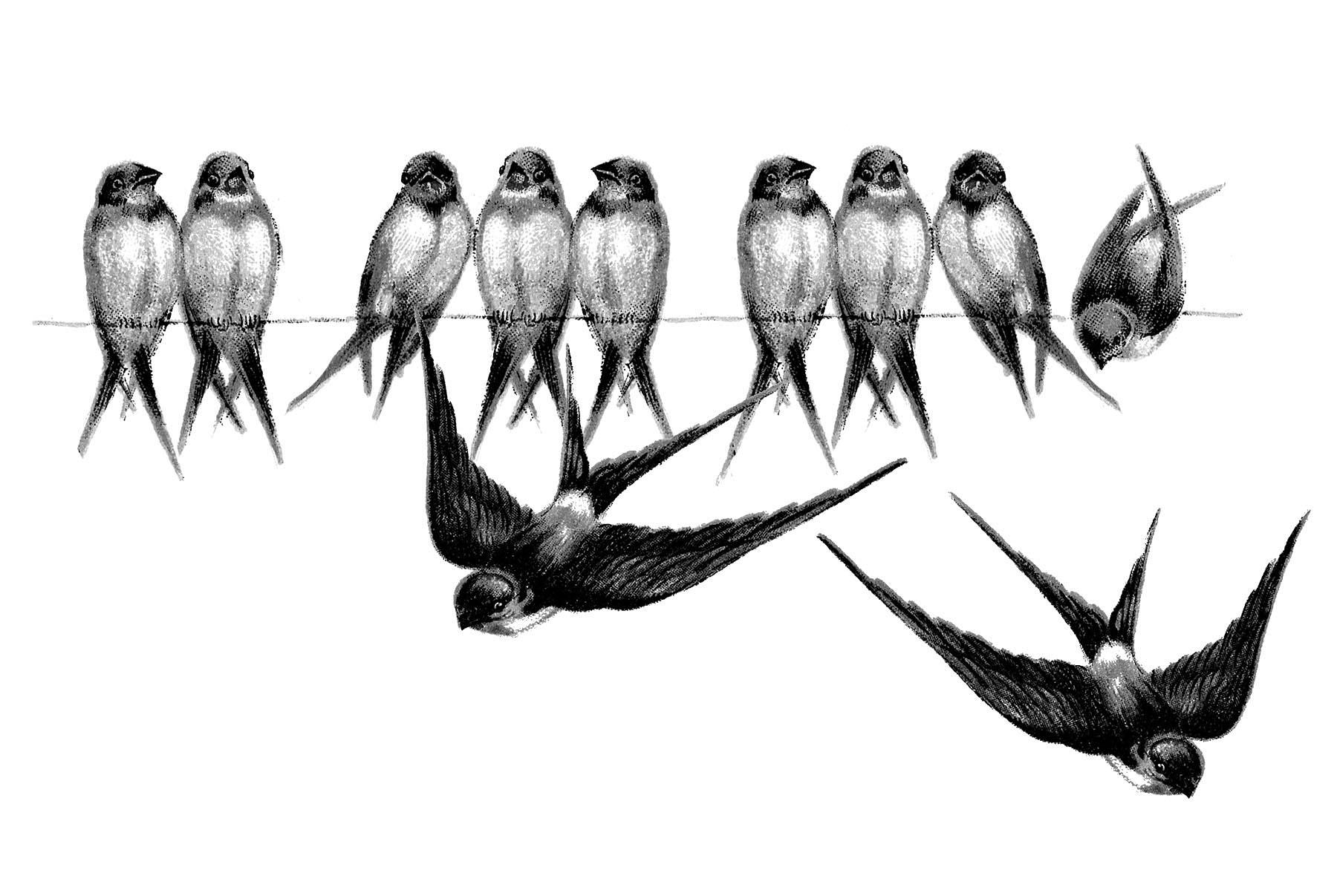 Vintage Bird Image Swallows On Line