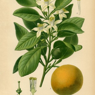 Vintage Botanical Print Sweet Orange
