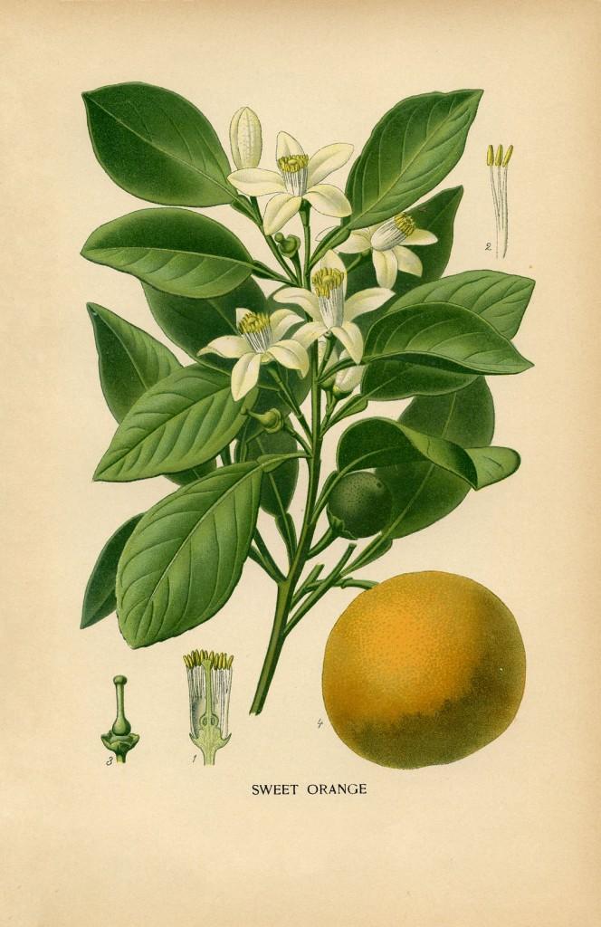 Vintage Botanical Print - Sweet Orange - The Graphics Fairy