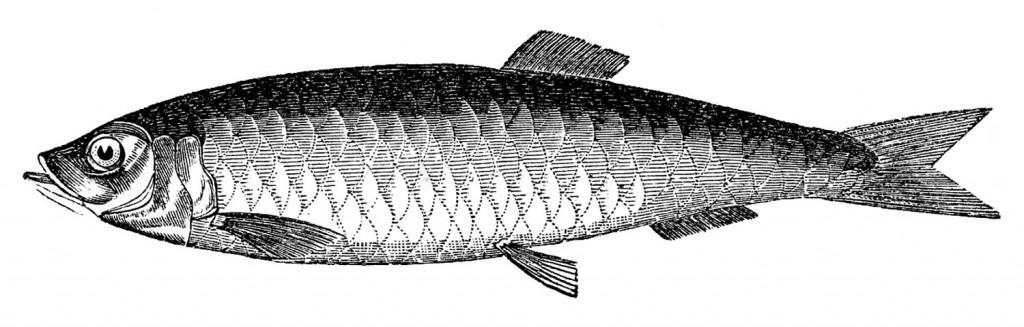 Vintage Fish Images Herring