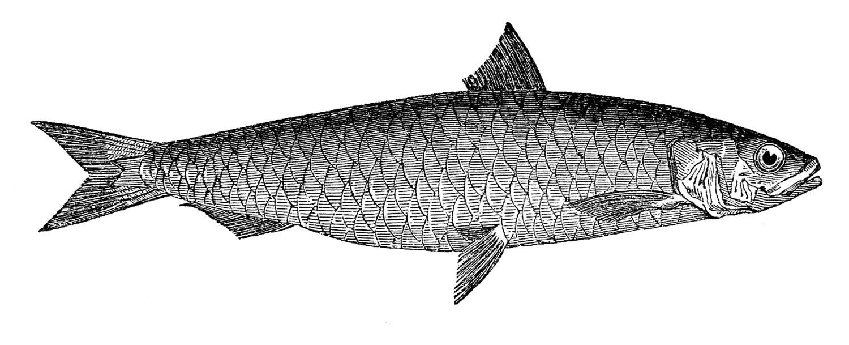 Vintage Fish Images Pilchard