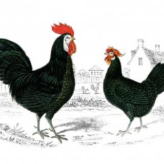 Free Vintage Image – Rooster Hen