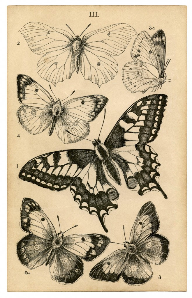 Antique Butterfly Print - Natural History - The Graphics Fairy